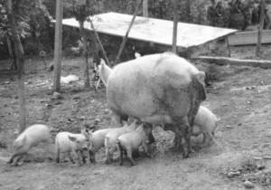 la scrofa con i maialini