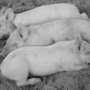 I giorni del maiale